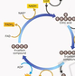 The Krebs Cycle