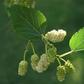 White Mulberry - Morus Alba