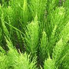 Horsetail (Equisetum)