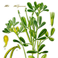 Fenugreek Improves Testosterone & Strength