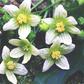 Bryonia Laciniosa