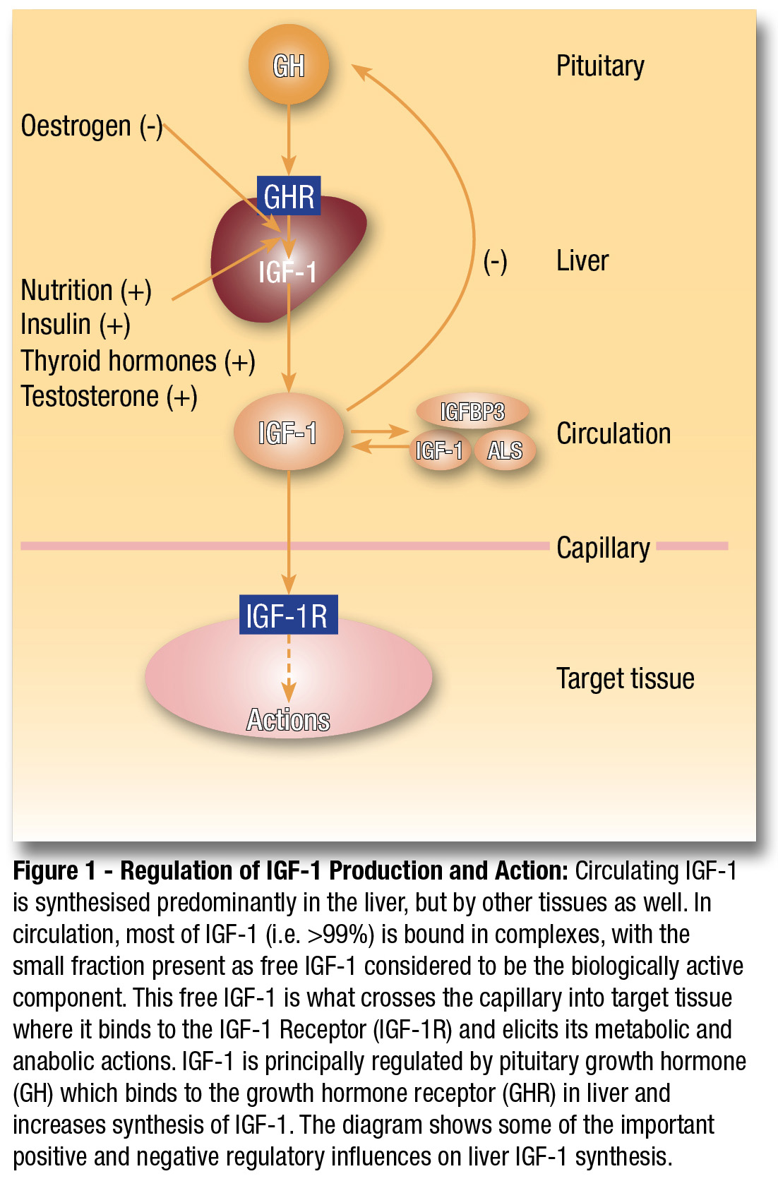 IGF-1 Functions and Actions Diagram